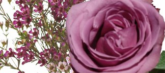 Pair Lavender Rose Blue Curiosa with Purple Waxflower