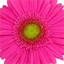High-Saturation Gerbera Daisy