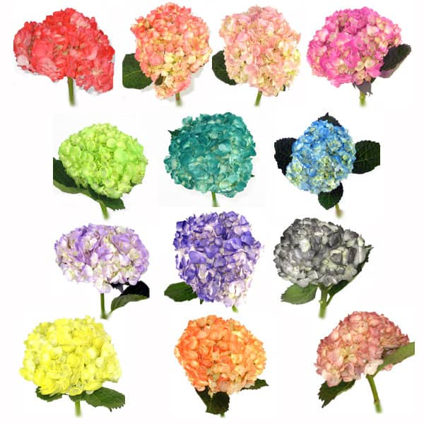 Spray tinted hydrangeas getting the colors nature doesn 39 t for What makes flowers different colors