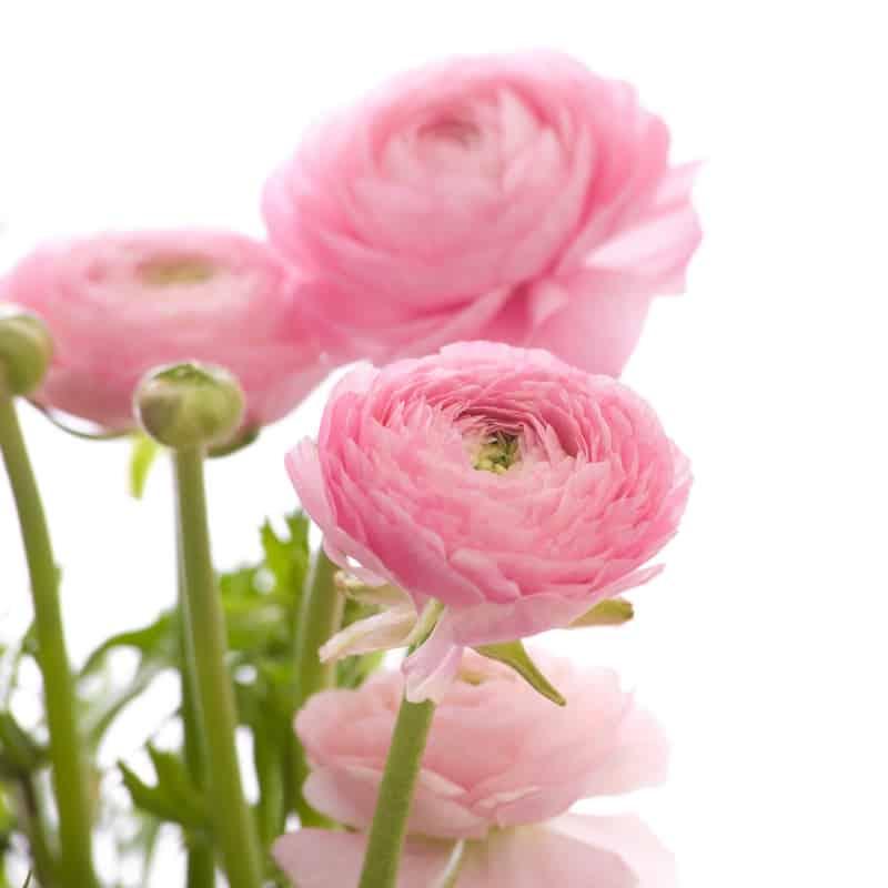 Цветок ранункулюс  уход и посадка фото ранункулюса