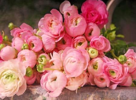 Flower Pink Ranunculus