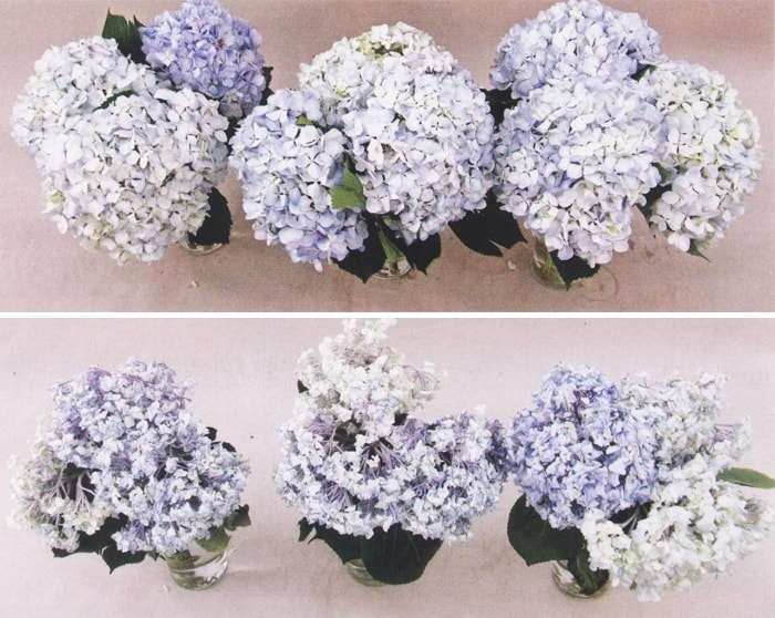 3 Steps to Make Your Hydrangeas Last Longer- DIY Wedding Flower Help!