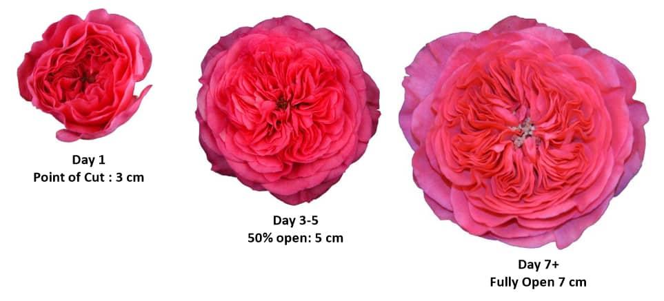 Garden Rose - Opening Process
