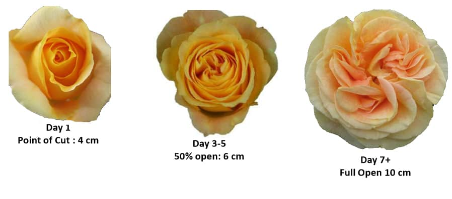 Garden Roses - Color opening