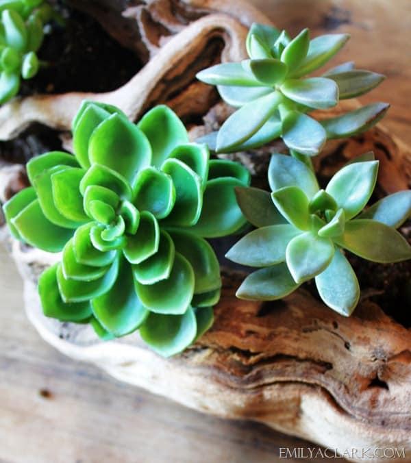 Driftwood and Succulent centerpiece