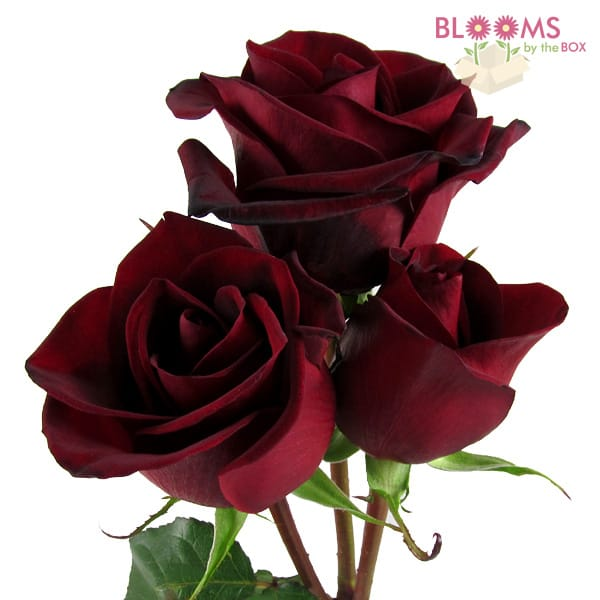 Bulk Rose Black Magic