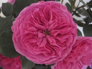 garden-rose-baronesse-hot-pink