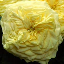 garden-rose-lemon-pompom-yellow
