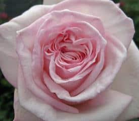 garden-rose-ohara-light-pink