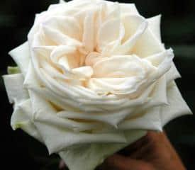NEW Garden Roses