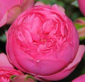 garden-rose-piano-pink