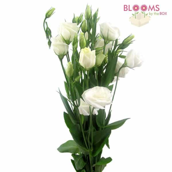 Lisianthus-White
