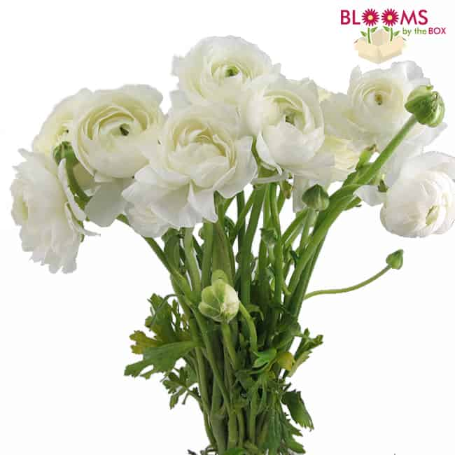 Bunch of white ranunculus