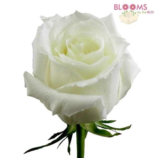 Eskimo Rose