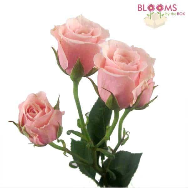 Spray-Rose-Pink