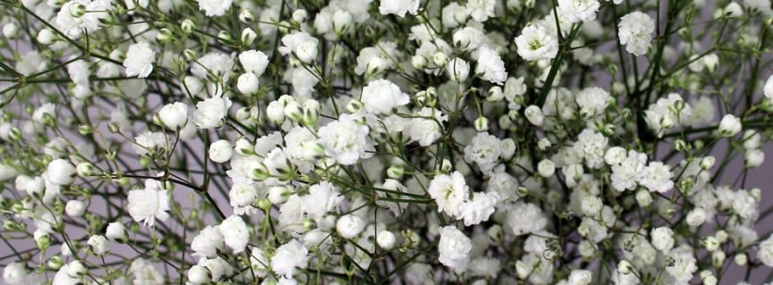 how much babys breath do I need?