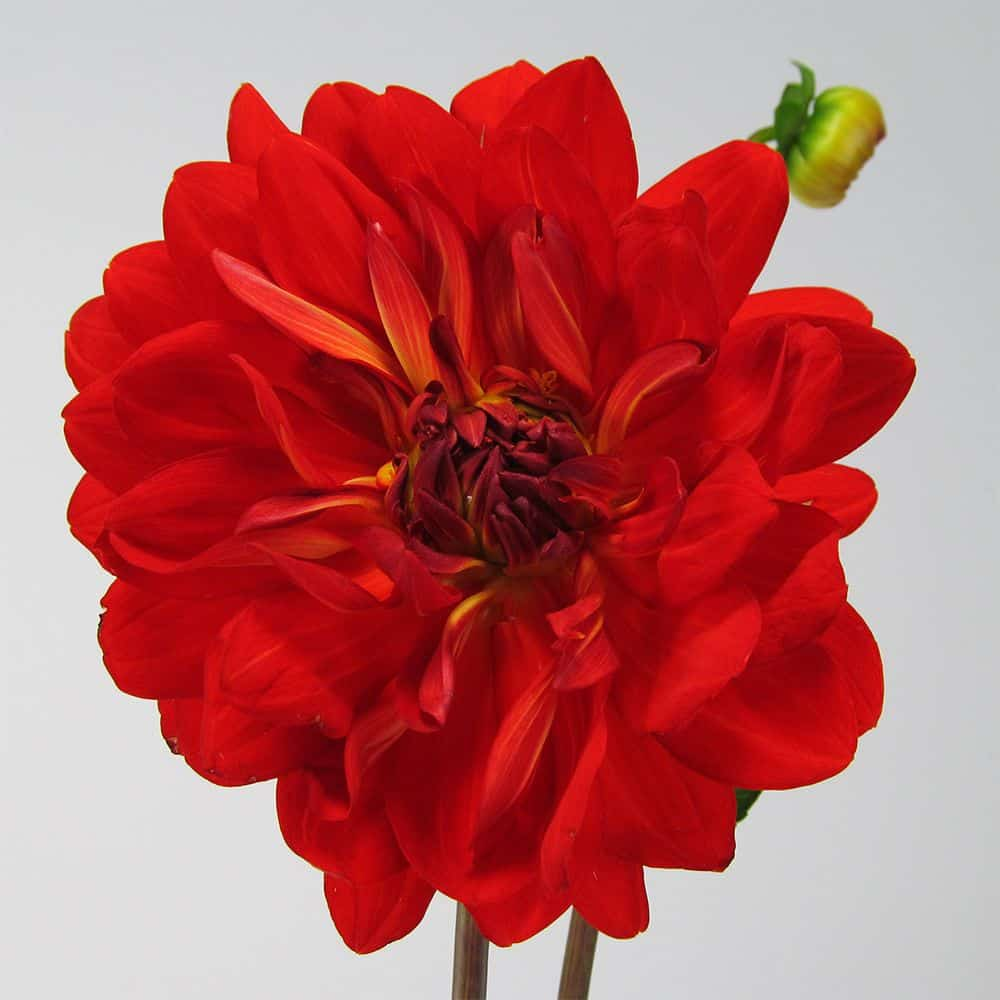 bright red dahlia