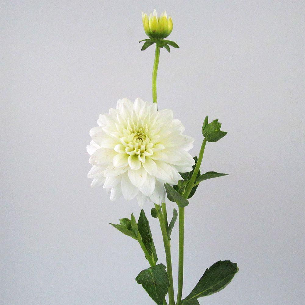 white dahlia sale