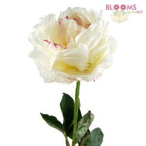 White Peony - single stem