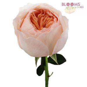 Juliet-Garden-Rose-2