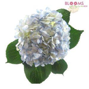 Large-Blue-Hydrangea