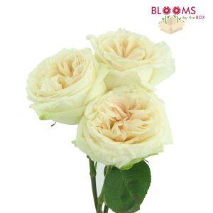 White-OHara-Garden-Rose