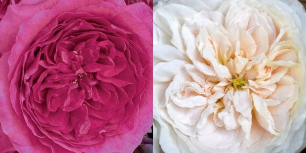 New David Austin garden rose varieties for 2017 from L to R: garden rose capability and garden rose purity.