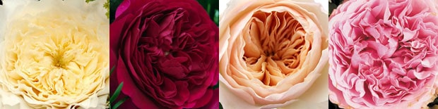 fuller, rounder, and texture-filled garden rose