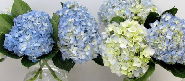Fresh-Cut-Hydrangeas