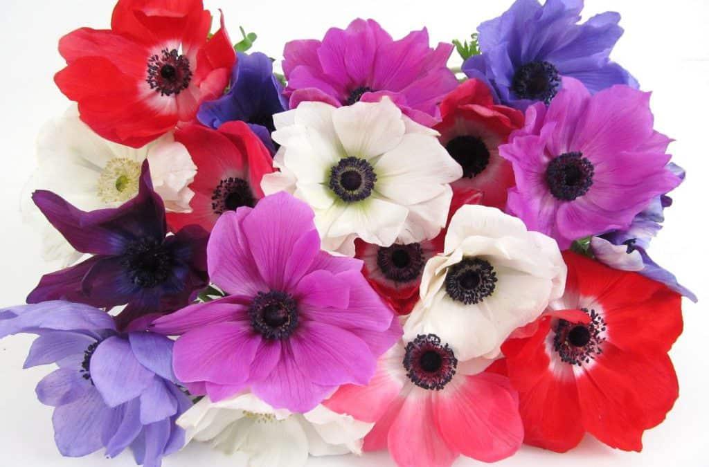 Fresh Blooms! Assorted Winter Anemones