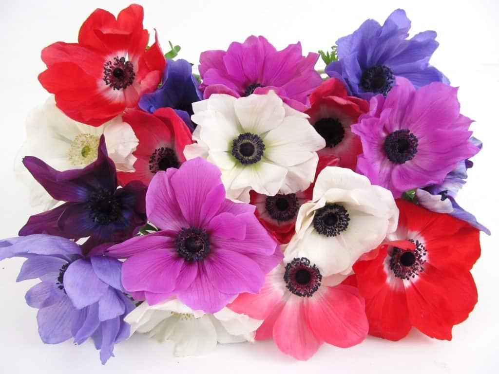 Fresh Blooms Assorted Winter Anemones Budget Friendly