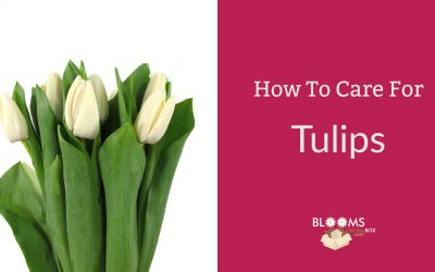 How To Care For Tulips
