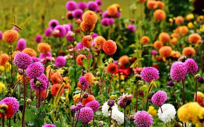 Wedding Flower Favorite: Dahlias