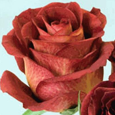 Роза чайно-гибридного сорта светло красного цвета. .  Сорт срезочный.  Вернуться в каталог роз.