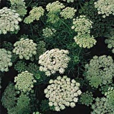 Wholesale Flower Images > Fillers > Queen Anne Lace White