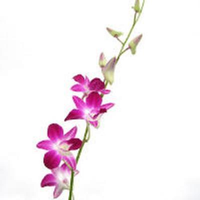 Purple Flower Picture on Wholesale Flower Images   Orchids   Dendrobium Orchid Purple