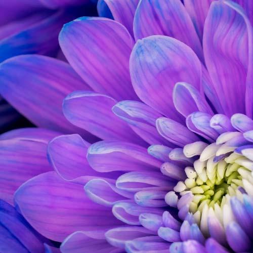 Wholesale flowers by color bloomsbythebox pantone ultra violet flowers mightylinksfo