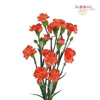 Mini Carnations Orange