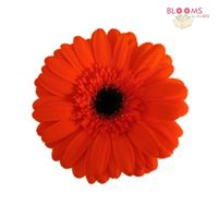 Mini Gerbera Daisy Orange