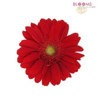 Mini Gerbera Daisy Red