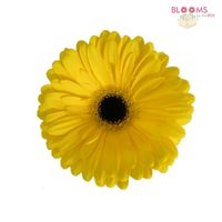 Mini Gerbera Daisy Yellow
