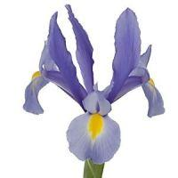 Iris Light Blue