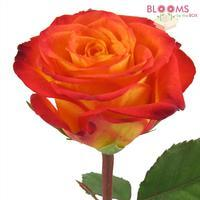 Rose Circus Yellow / Red tips 40cm