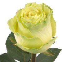 Wholesale Rose Limbo Green 40cm