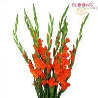 Gladiolus Fancy Orange