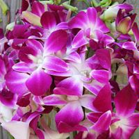 Dendrobium Orchid Bombay : Wholesale Flowers : Blooms By The Box