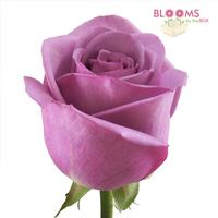 Rose Cool Water Lavender 40cm