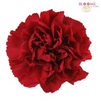 Carnations Red Fancy