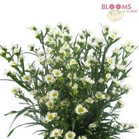 Fresh cut wholesale monte casino white aster flowers previous next mightylinksfo