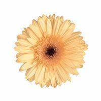 Mini Gerbera Daisy Cream